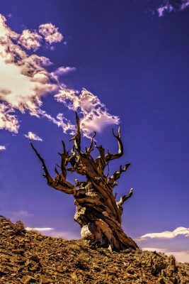 Ancient Bristlecone Pine & Clouds