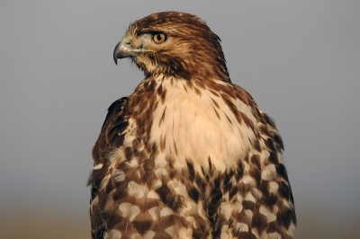 Re Tailed Hawk Posing