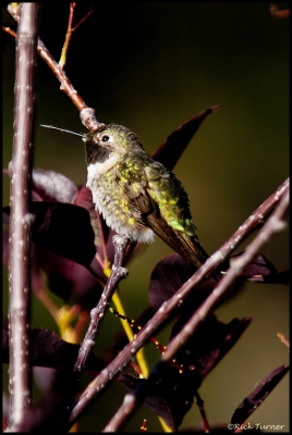 Green Humingbird