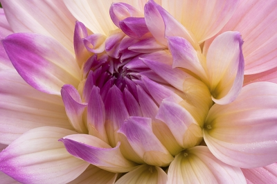 Dahlia Beautiful