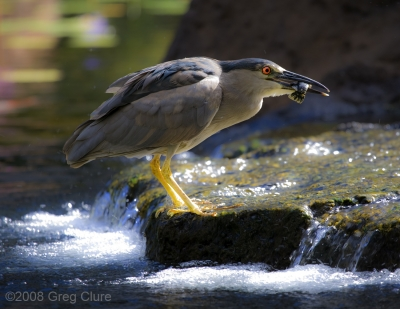 Night Heron Feeding, Maui