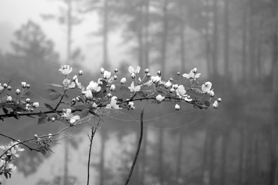 Primroses, Reflection And Fog