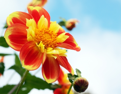 Bright Orange And Yellow Dahlia