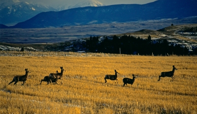 Mule Deer In Flight.