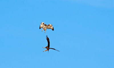 Eagle And Hawk Air Skirmish