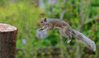 Jumping Squirrel