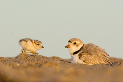 Piping Plover Chick Ready To Brood