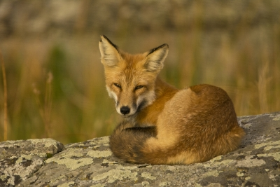 Red Fox After The Hunt