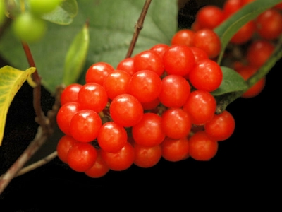 Merry Berry Red