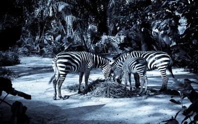 Group Of Zebras Grazing
