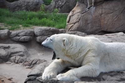 Tiered Polar Bear
