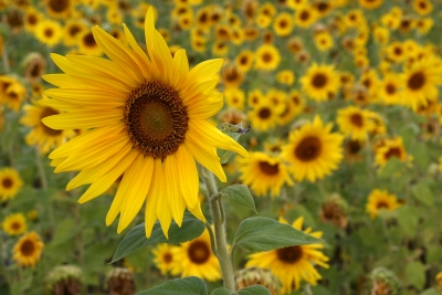 Sun Flower Beauty