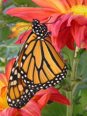 Monarch And Mums