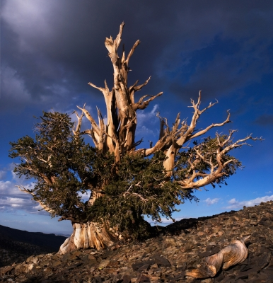 Ancient Bristlecone Pine At Sunset