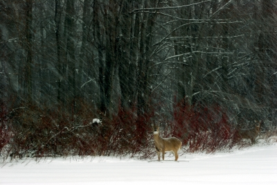 Whitetail Deer In A Snowstorm
