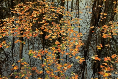Leaves & Tree Reflections On The East Branch Coon Creek