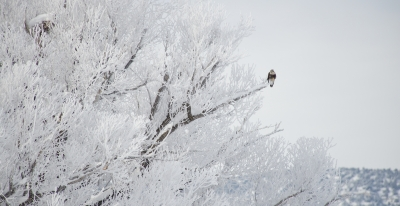 Rough-legged Hawk And Hoar Frost