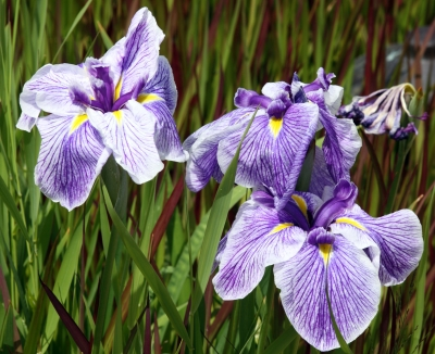 Vibrant Purple And White Striped Iriis