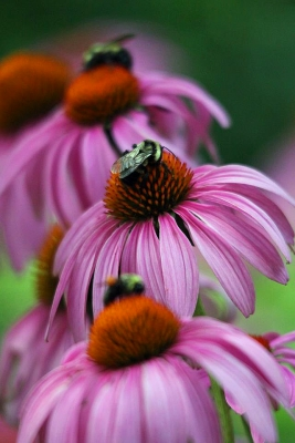 Bees And Coneflowers