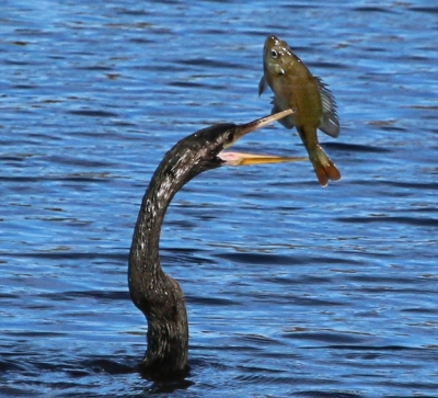 Anhinga Spears His Breakfast