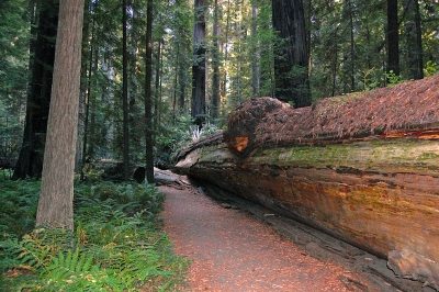Mighty Redwood Crashed During Storm