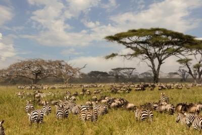 Zebras In Serengeti National Park