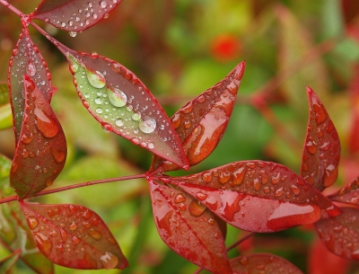 Droplets On Nandina