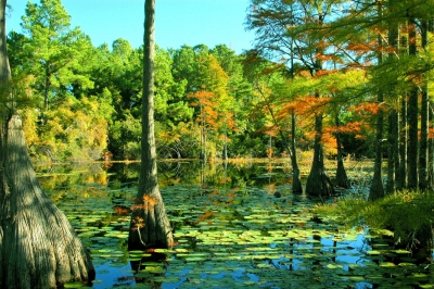 Lowcountry Cypress Swamp, Sc