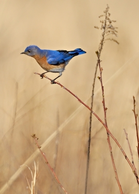 Bluebird On Twig
