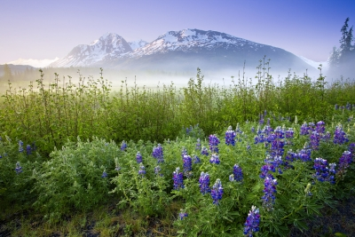 Alaska, Chugach National Forest, Wildflowers, Sunrise, Fog
