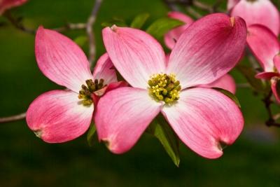 The Dogwood Blossoms