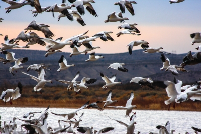 Snow Geese At Bosque Del Apache National Wildlife Refuge