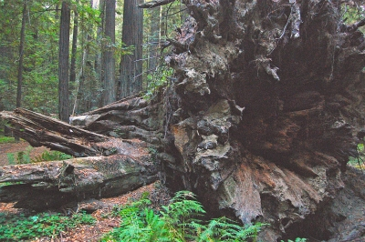Toppled Redwood Tree