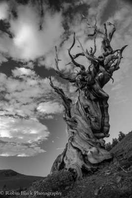 Twisted Bristlecone