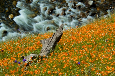 Poppies And The Merced
