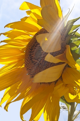 Sunray Sunflower