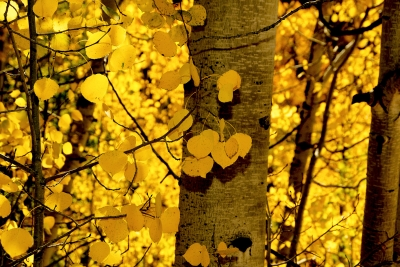 Aspen Leaves Up Close And Personal