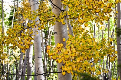 Gold And Green Aspens
