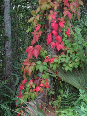 Red Leaves Growing Up A Tree