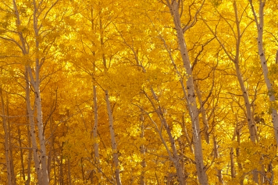 Morning Aspens
