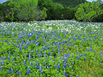 Bluebonnets And Prickely Poppies