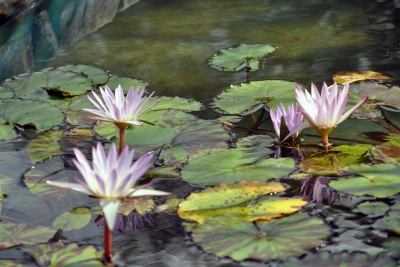 Fall Water Lillies
