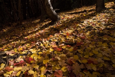 Rim Country Leaves