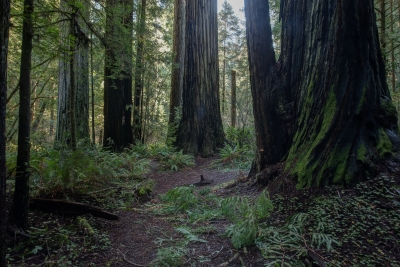 Early Morning Among The Redwoods
