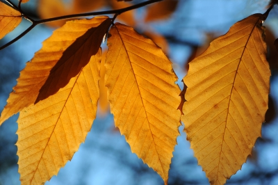 Beech Leaves In Fall