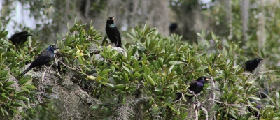 Grackles With Acorns