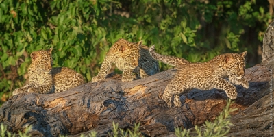 Learning To Fly – Leopard Cub, Selinda Botswana