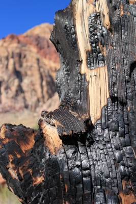 Burnt Tree At Red Rock Canyon