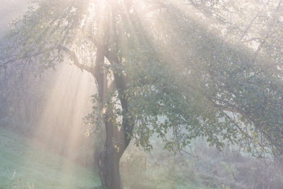 Apple Tree In Morning Fog