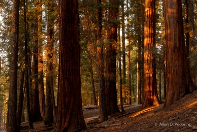 Fall Afternoon In The Giant Forest 1, Sequoia National Park